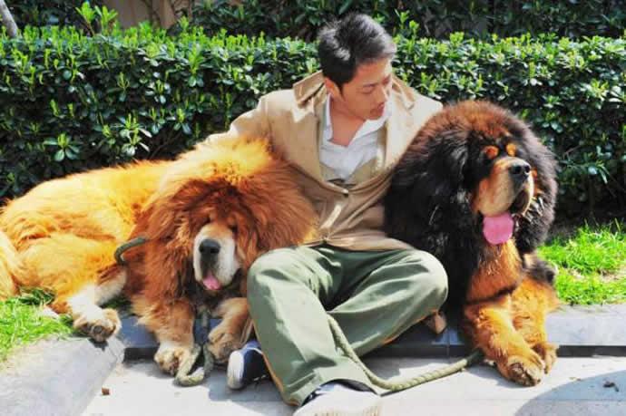 tibeti masztiff